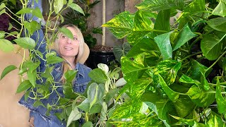 Pruning & Propagating Pothos, Philodendron and Scindapsus
