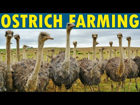 , title : 'Ostrich Farming | How to Start an Ostrich Farm