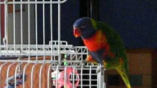 Ollie the Rainbow Lorikeet singing and dancing to his favourite song