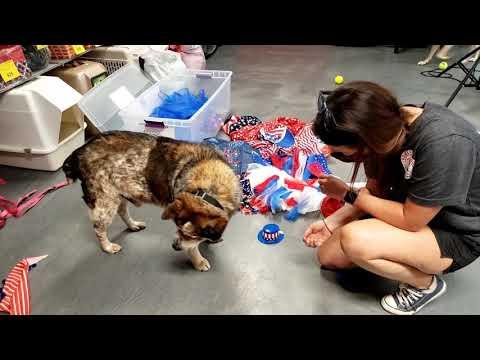 PHILLY, an adopted Australian Cattle Dog / Blue Heeler Mix in Phoenix, AZ