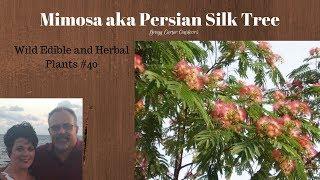 Mimosa aka Persian Silk Tree