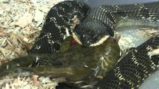 Eastern Hognose Snake eating a Bullfrog