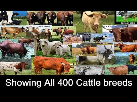 , title : 'All 400 Cattle Breeds | Showing all Cow breeds in the World A to Z
