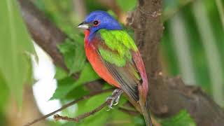Painted Bunting Sound, Painted Bunting Song, Bird Song, Bird Sound, Bird Voice, Bird Chirp