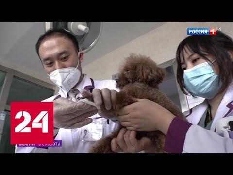 Ветеринары уточнили, могут ли домашние животные заразить хозяев коронавирусом - Россия 24