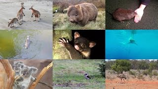 Australian animals for kids: pronunciation in English (with videos)