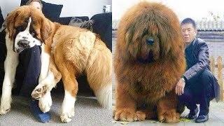 Real Life Giant Dog Breeds Video Compilation