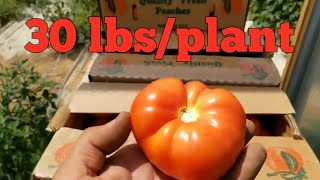 How to Fertilize Tomatoes for Optimum Yield!!
