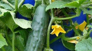 Krastvaci I Jagode Iz Bureta - Cucumbers And Strawberries From The Barrel