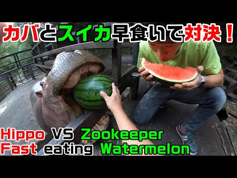 カバとスイカ早食いで対決 Hippo VS zookeeper fast eating watermelon competition