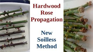 Hardwood Rose Propagation: New Soilless Method
