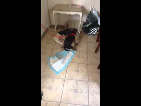 Dog Humps His Bed