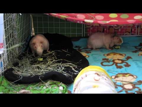 how to get a pig used to you