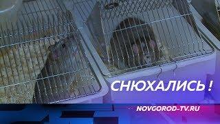 Эксперимент мирового масштаба в Великом Новгороде: крысы определят рак по дыханию пациента