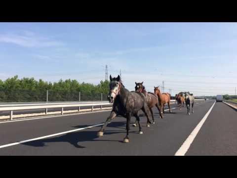 Препускащи коне из унгарските магистрали