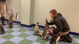 Penguins weigh in at the Saint Louis Zoo