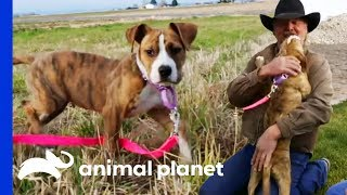 Hannah Finds The Ultimate Happy Ending At Her Forever Home | Pit Bulls & Parolees