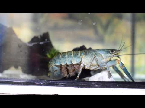 Video Ternak Lobster Air Tawar (Udang Kara)