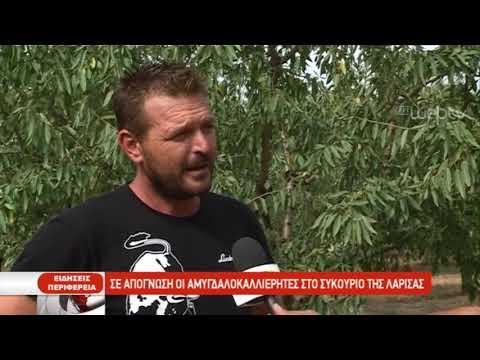 Σε απόγνωση οι αμυγδαλοκαλλιεργητές στο Συκούριο της Λάρισας | 03/10/2019 | ΕΡΤ