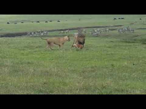 Lion Vs Dog