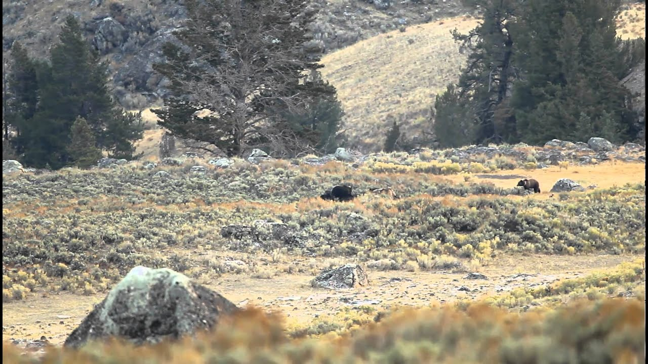 2 Grizzlies vs 7 wolves @ Yellowstone 10-06-2010 - YouTube