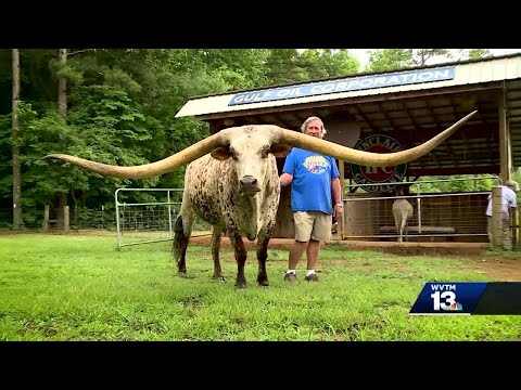 Clay County steer breaks world record on longest horn span