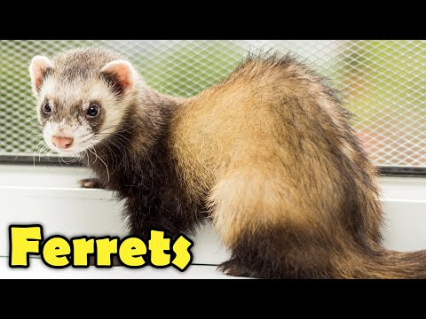 , title : 'What is a Ferret? - 10 Facts about Ferrets
