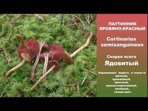 Паутинник кровяно-красный - Cortinarius semisanguineus. Скорее всего  ядовитый!