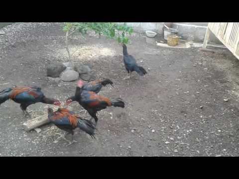 Video Usaha sampingan yang menjanjikan Ternak Ayam Bangkok