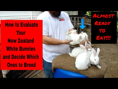 , title : 'New Zealand White Rabbits - How to Evaluate Your New Zealand White Bunnies and Decide Who to Keep