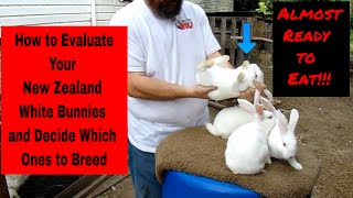 New Zealand White Rabbits - How to Evaluate Your New Zealand White Bunnies and Decide Who to Keep