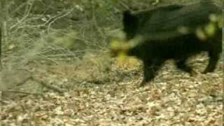 Scènes de chasse au sanglier aux chiens courants Vol.1
