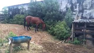 Equídeo Equino Mangalarga Marchador - e-rural Imagens