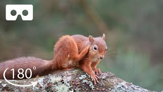 Meet The Adorable Red Squirrels of Scotland | VR 180 | BBC Earth