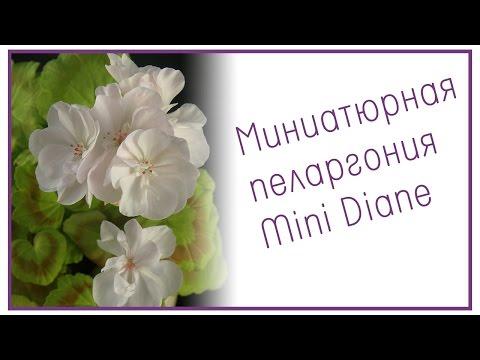 Миниатюрная пеларгония Mini Diane
