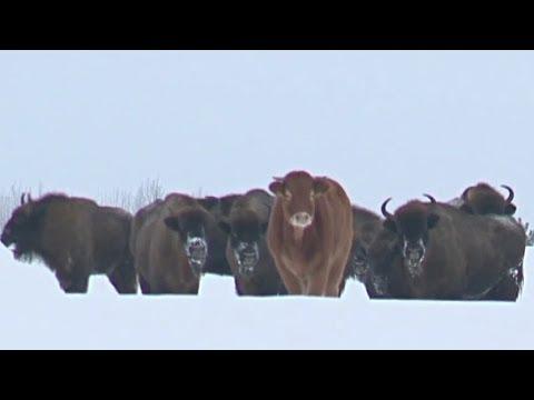 Вольная жизнь милее: в Польше корова ушла к зубрам