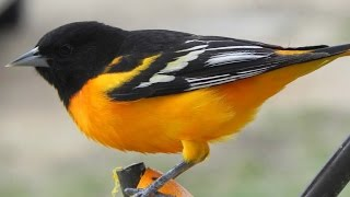 Baltimore Oriole Icterus galbula and House Finch