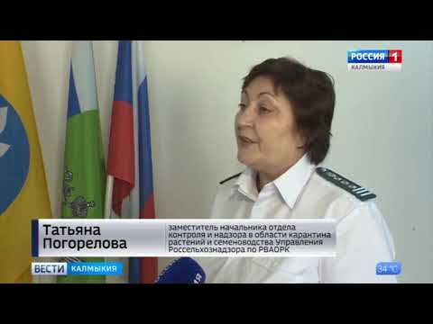 На территории Республики Калмыкия Управлением Россельхознадзора ведется активная борьба с амброзией полыннолистной