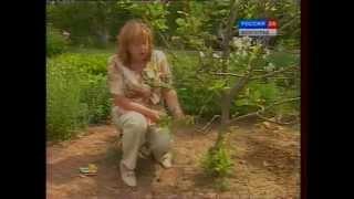 Вредители сада. Эффективные методы борьбы с тлей и листоверткой.