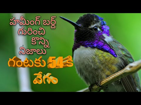Download Five Amazing Facts About Hummingbirds Video 3GP Mp4 FLV HD