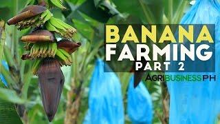 How to grow Banana Tree Part 2 : Banana Farm Management    Agribusiness Philippines