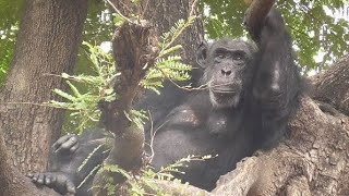 Chimpanzee On Tree !