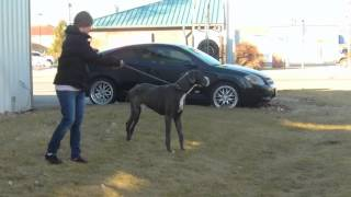 Great Dane Survives Leg Injuries and Gastric Volvulus Dilation