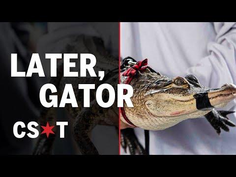 Chicago's Humboldt Park gator caught by Florida alligator expert