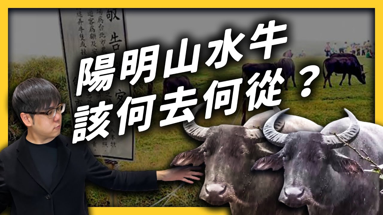 擎天崗水牛暴斃的後續討論:死因是什麼?陽明山上倖存的牛牛,又該如何處理?|志祺七七