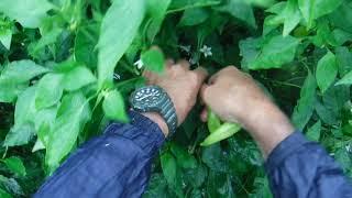 「今日ほどあなたと百姓一揆!」~旬の有機野菜収穫編@バナナピーマンの収穫秋編