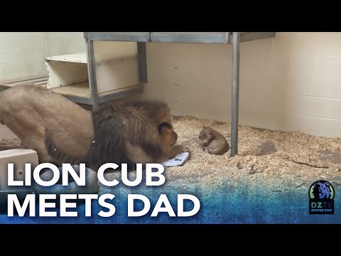ნახეთ მამა ლომისა და თავისი ბოკვერის ემოციური შეხვედრა (ვიდეო)