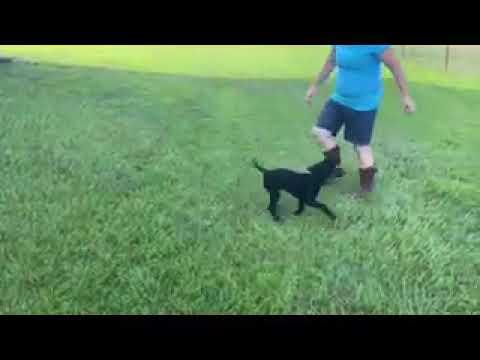 Dixie - Labrador Retriever puppy for sale