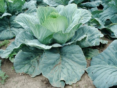 , title : 'How to Plant Cabbage and How To Take Care Of Cabbage In Pot For Quick Harvest
