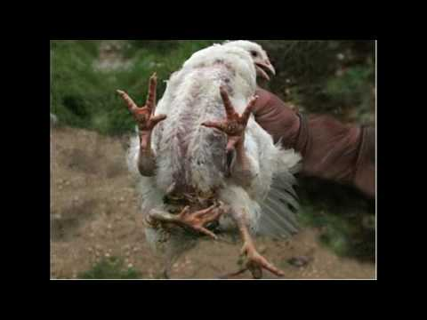 FDA Shuts Down KFC After Raid Finds Cloned and Mutated Chickens on Farm.. maybe fake